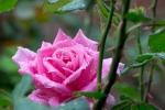 rosewthorns